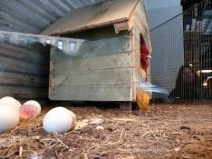 Nuggets de pollastre sortint de l'ou
