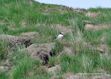 Stykkishólmur fraret amb herbes d'aprop