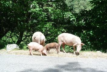Porcs família